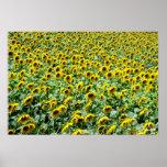 Sunflower Delight Poster