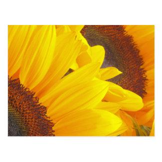 Sunflower Duet Postcards