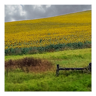 Sunflower Farm, wooden fence & phone pole Poster