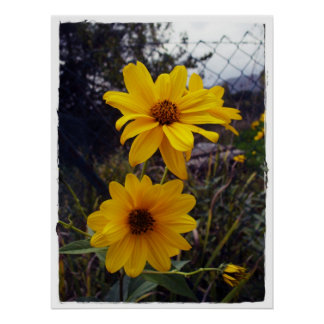 Sunflower Fence Print