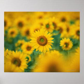 Sunflower Field 2 Poster