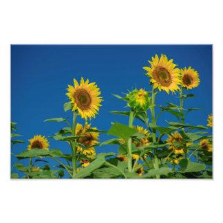 Sunflower field art photo