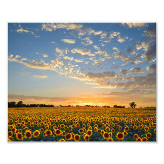 Sunflower Field at Sunset Photo Print