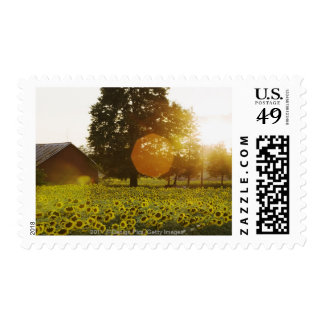 Sunflower Field At Sunset With A Barn Postage