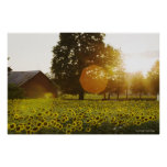 Sunflower Field At Sunset With A Barn Poster