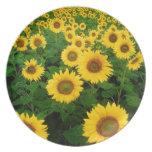 sunflower field dinner plate