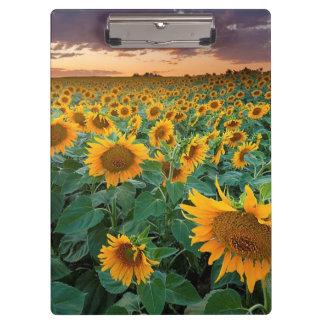 Sunflower Field in Longmont, Colorado Clipboard
