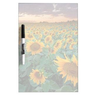 Sunflower Field in Longmont, Colorado Dry-Erase Board