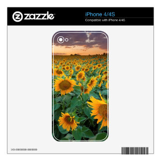 Sunflower Field in Longmont, Colorado iPhone 4 Decals