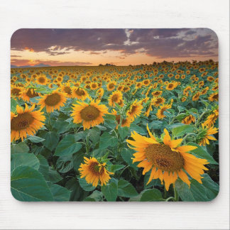 Sunflower Field in Longmont, Colorado Mouse Pad