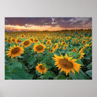 Sunflower Field in Longmont, Colorado Poster