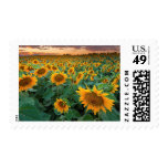 Sunflower Field in Longmont, Colorado Stamp