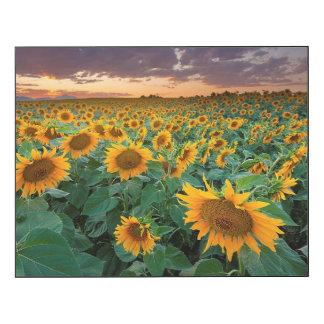 Sunflower Field in Longmont, Colorado Wood Wall Art