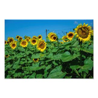 Sunflower field photo art
