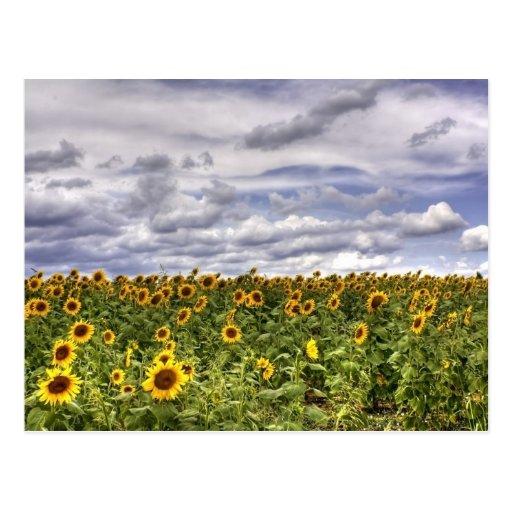 Sunflower Field Post Cards