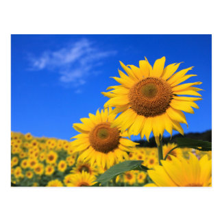 Sunflower Field Postcard