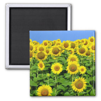 Sunflower Fields 2 Inch Square Magnet