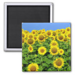 Sunflower Fields Magnet