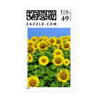 Sunflower Fields Postage Stamp