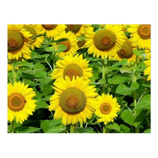 Sunflower Fields Postcard
