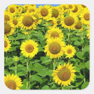 Sunflower Fields Square Sticker