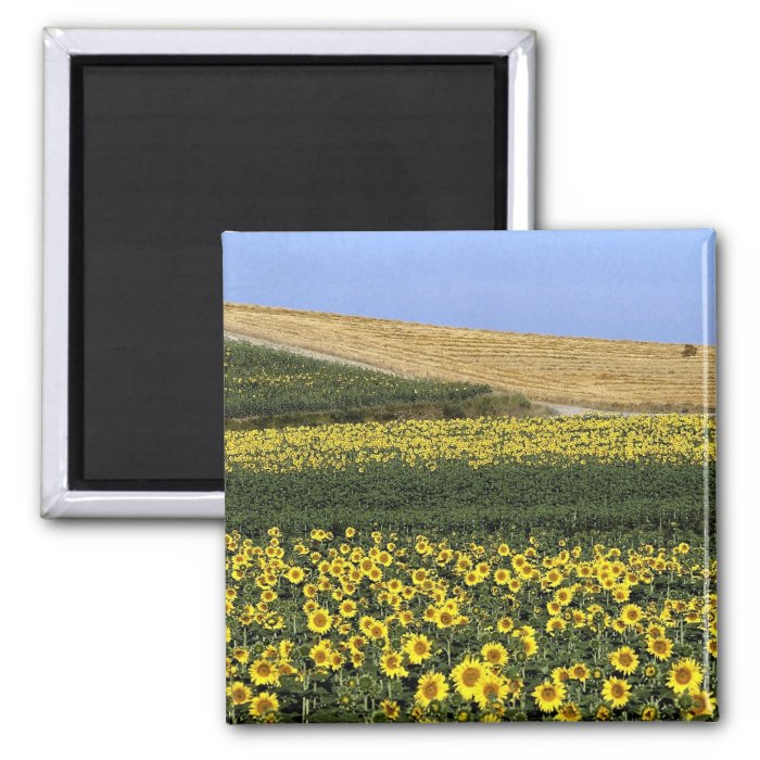 Sunflower fields, Tuscany, Italy 2 Inch Square Magnet