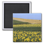 Sunflower fields, Tuscany, Italy Magnet