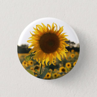 Sunflower garden.Beautiful flowers Button