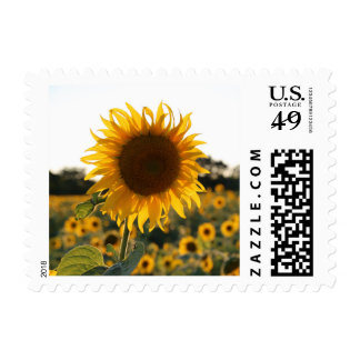 Sunflower garden.Beautiful flowers Postage