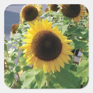Sunflower Girasol Photo Square Sticker