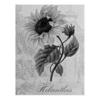 Sunflower Helianthus Monochrome Postcard