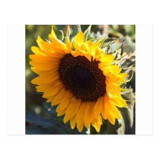 Sunflower in August Postcard