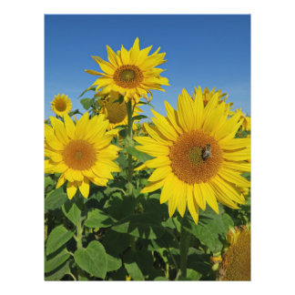 sunflower in blue sky colorful summer blossom flyer