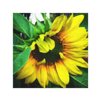 Sunflower in Living Color Canvas Print