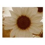 sunflower in sepia color postcard