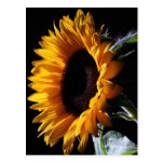 Sunflower in studio 1 postcard