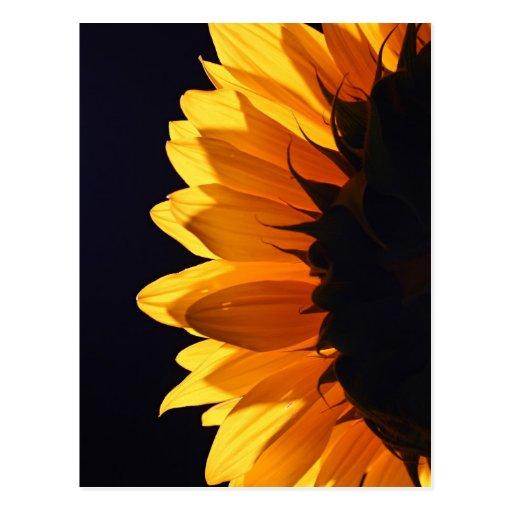 Sunflower in studio 4 post card