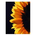 Sunflower in studio 4 postcard