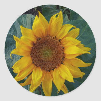 Sunflower in the Spring Round Sticker