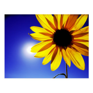 Sunflower in the Sun Postcard