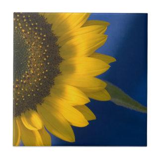 Sunflower on Blue Photo Tile