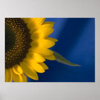 Sunflower on Blue Poster