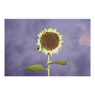 Sunflower on Blue  Posters
