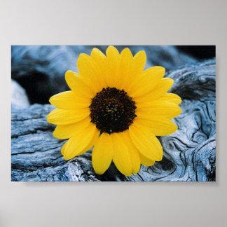 Sunflower on Burled Log Poster