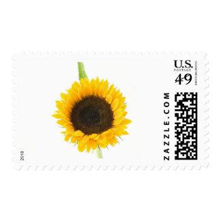 Sunflower On White Background Postage