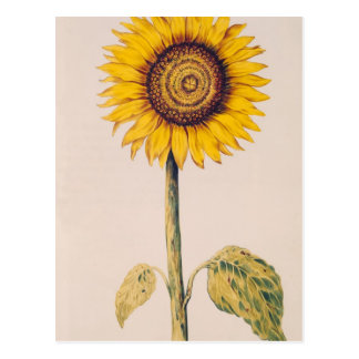 Sunflower or Helianthus Postcard