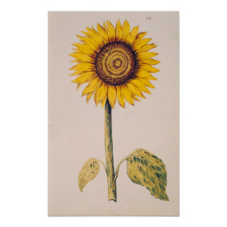 Sunflower or Helianthus Poster