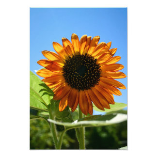 Sunflower Photo Art