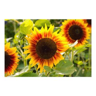 Sunflower Photograph
