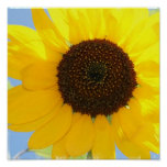 Sunflower Picture Print at Zazzle